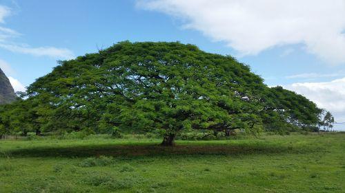 hawaiian umbrella tree nature