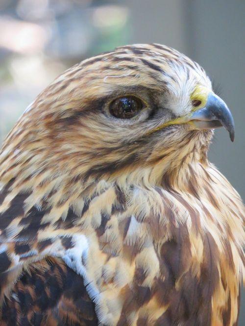 hawk closeup of hawk bird