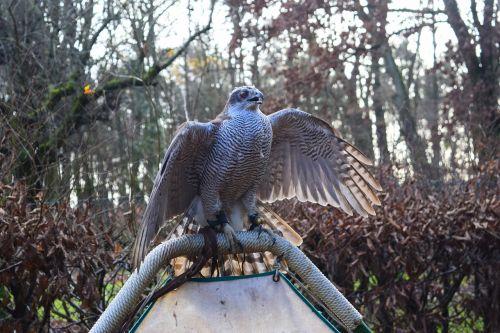 hawk forest raptor