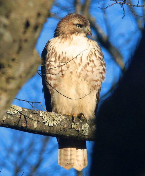 hawk sharp shinned mean