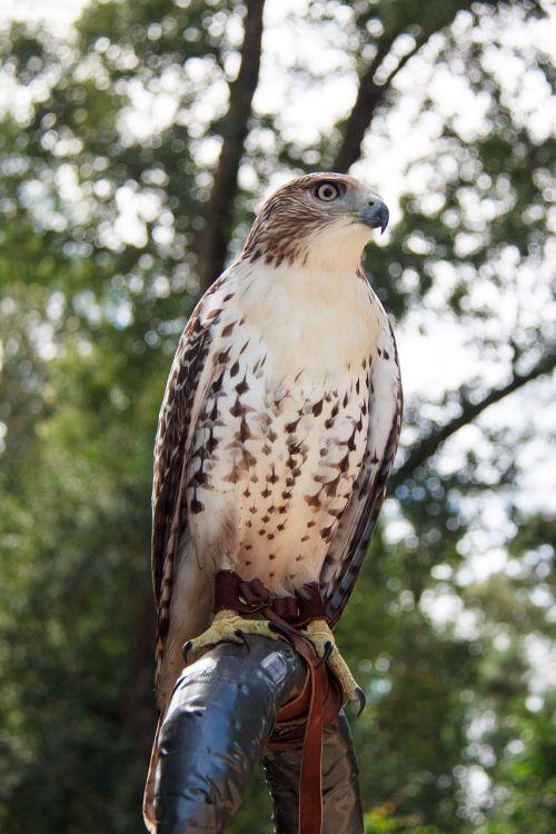 hawk red-tailed hawk bird