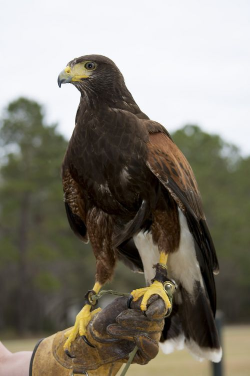 hawk harris's hawk raptor