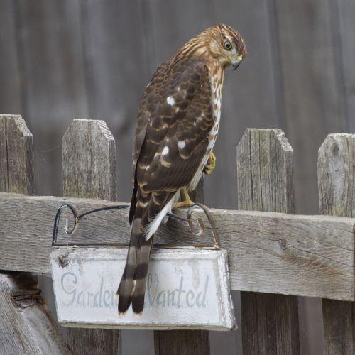 hawk gardener animal