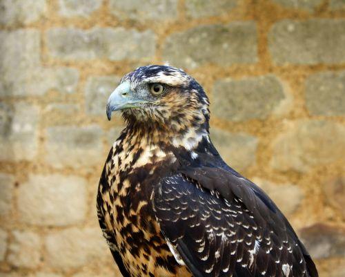 hawk bird beak