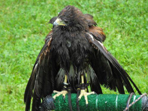 hawk prey falcon
