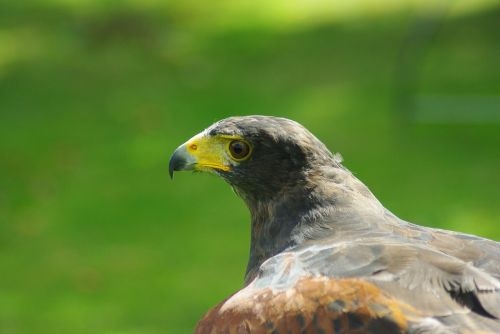 hawk harris bird
