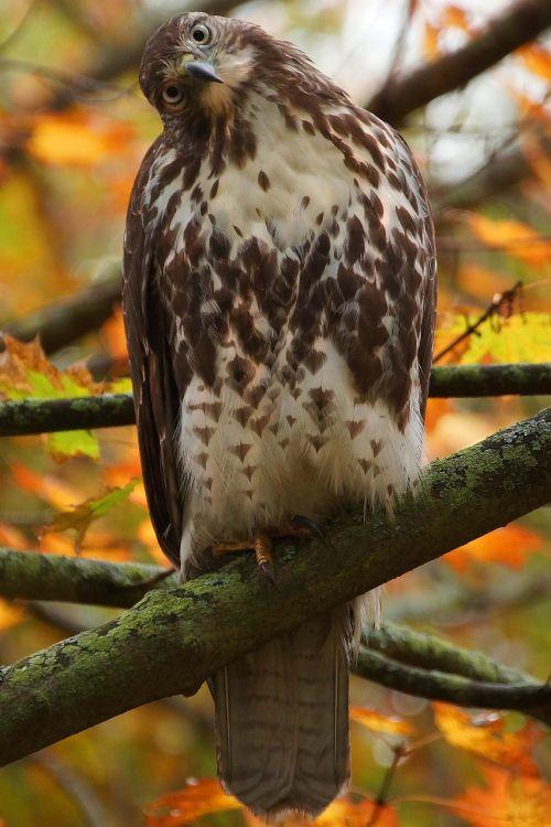 hawk red tail hawk nature