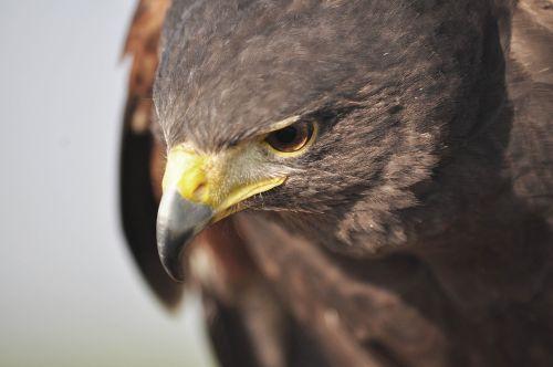 hawk nature hunting
