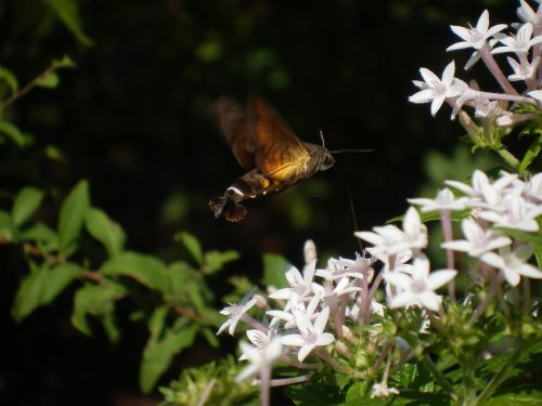 hawk moth moth insect