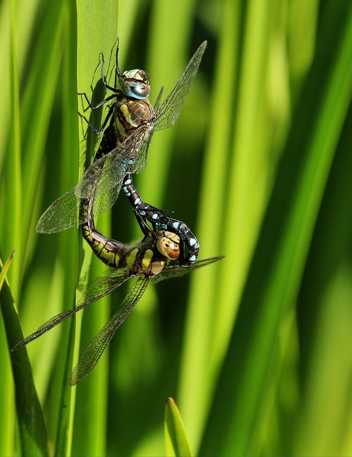 hawker  dragonflies  insect
