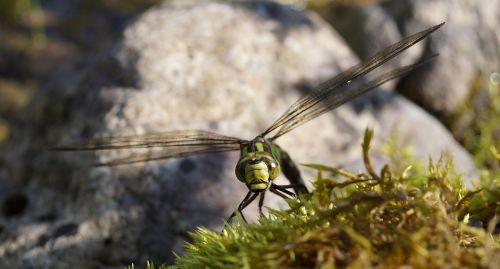hawker dragonfly insect
