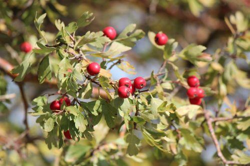 hawthorn mountain fruit red fruit