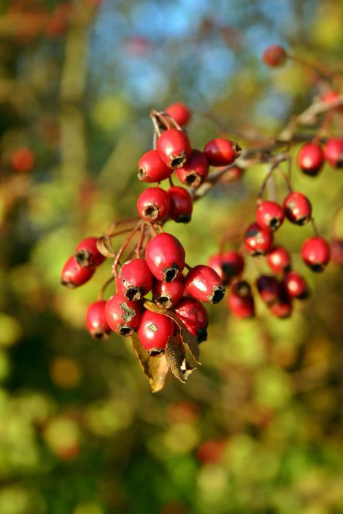 hawthorn fruits red