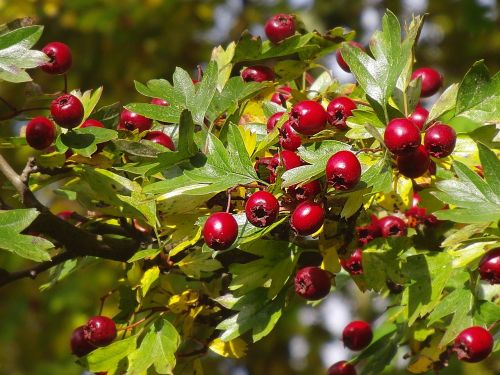 hawthorn hawthorn berries berry red