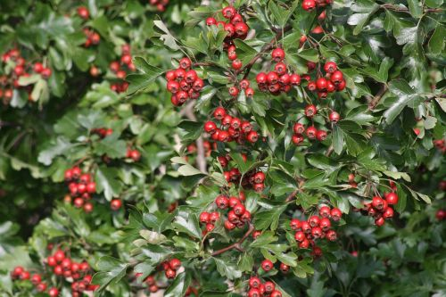 hawthorn red fruits