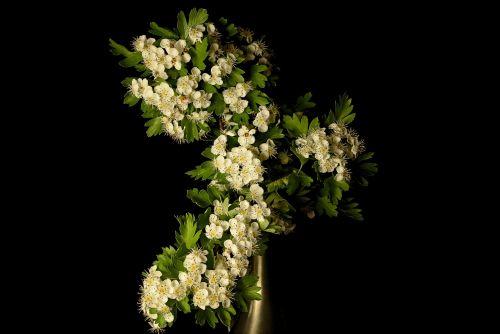 hawthorn crataegus flower