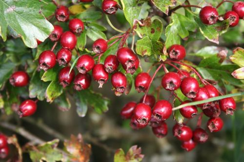hawthorn berries red