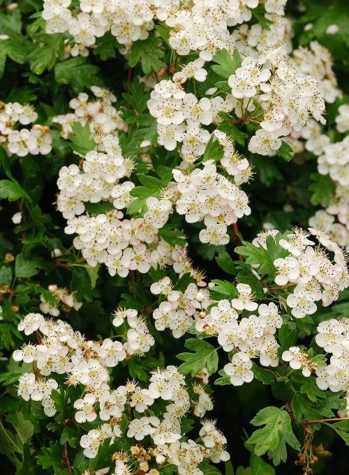 hawthorn may-tree white