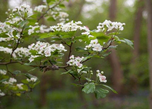 hawthorn  hawthorn blossom  blossom