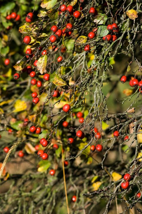 hawthorn red berry