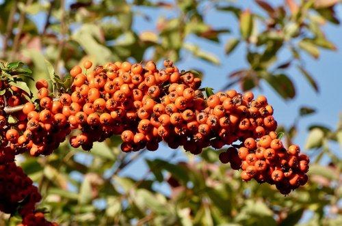 hawthorn berries  hawthorn  berries