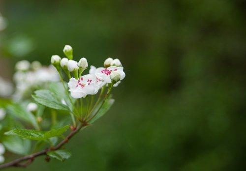 hawthorn blossom  hawthorn flower  hawthorn