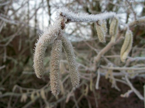 hazel birch greenhouse winter
