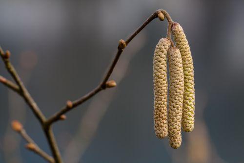 hazel bloom early bloomer hazelnut