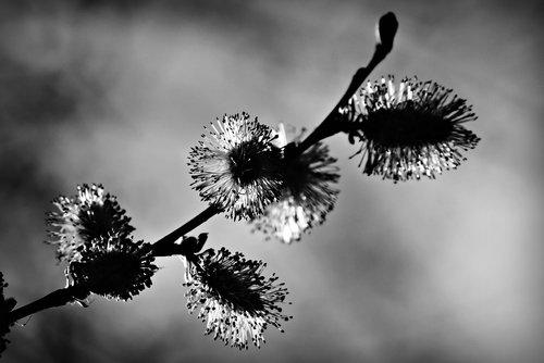 hazel catkin  flower  winter bloom