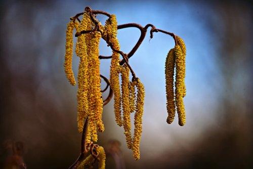hazel catkins  flower  branch
