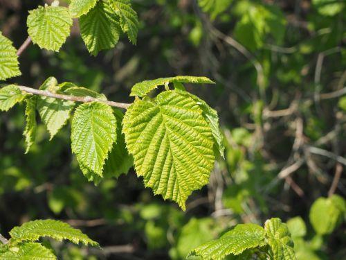 hazelnut fresh leaves fresh green