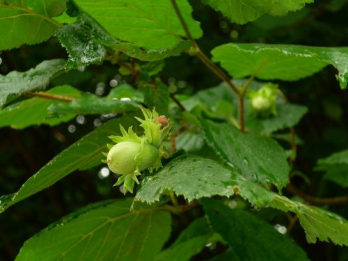 hazelnut hazel bush