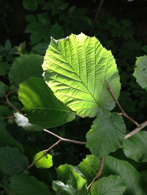 hazelnut hazelnut leaf leaf