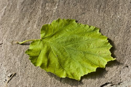 hazelnut leaf leaf green