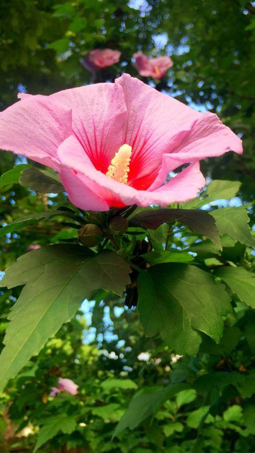 hdr,rožinis,gėlė,gamta,vasara,gyvas,gyvas