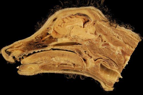 head anatomy dog