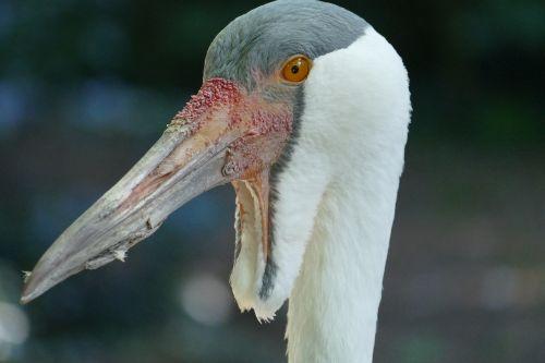 galva,sąskaitą,keltuvai,paukščio parkas,Walsrode,parkas,makro,paukščių parkas Walsrode,paukštis
