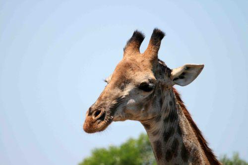 Head Of Immature Giraffe