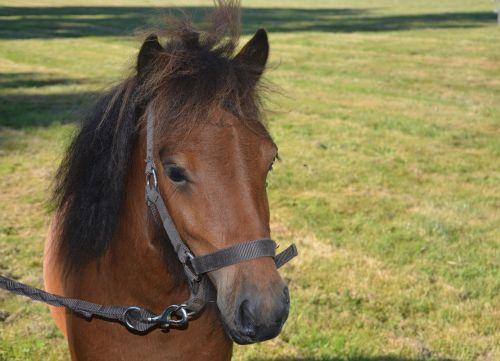 Shetland pony vadovas,Jodinėjimas arkliu,Promenada,gražus,rascally,mažas arklys,vairuotojai,poniai,arkliai