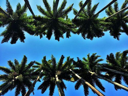 heads of royal palms rio jardim botânico