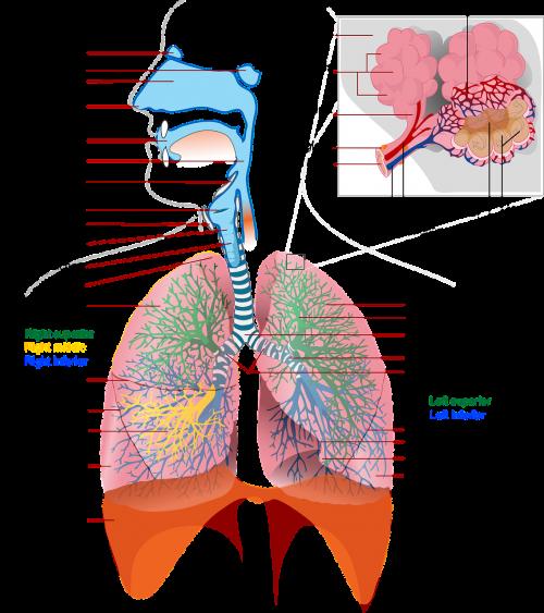 health medicine anatomy