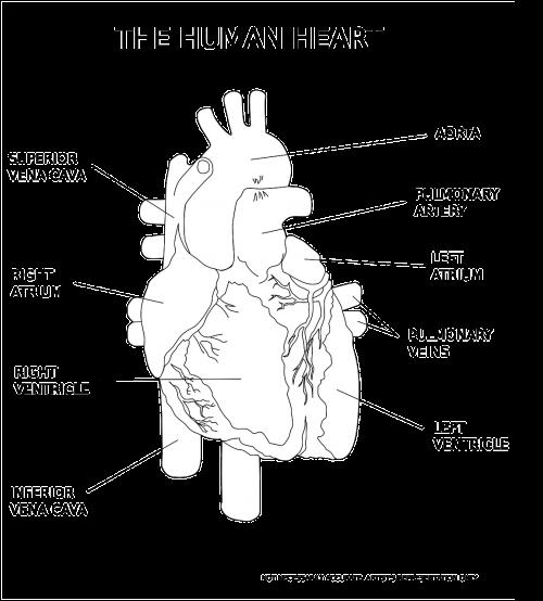 heart ventricle organ