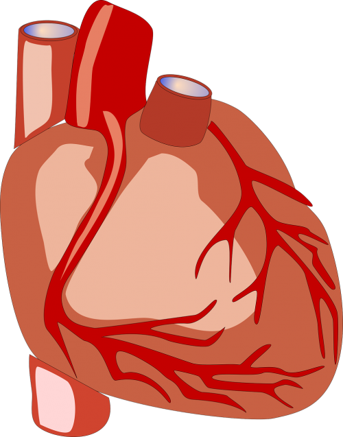 heart human heart anatomy