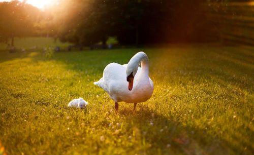 heat wave swan heat
