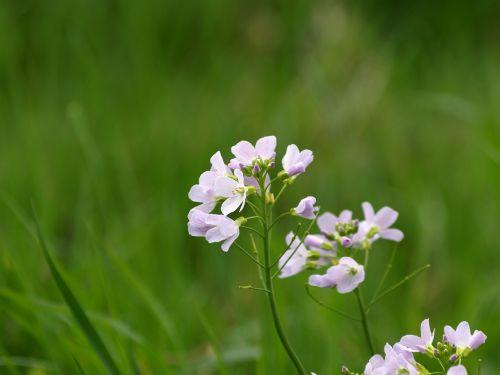 heath orchid purple blossom
