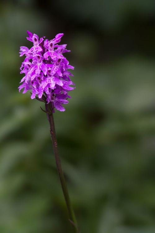 heath spotted orchid orchid patch fingerwurz