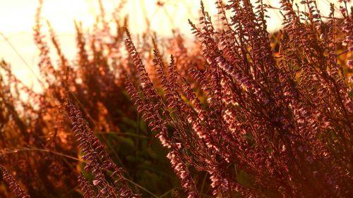 heather ericaceae