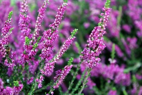 heather plant nature