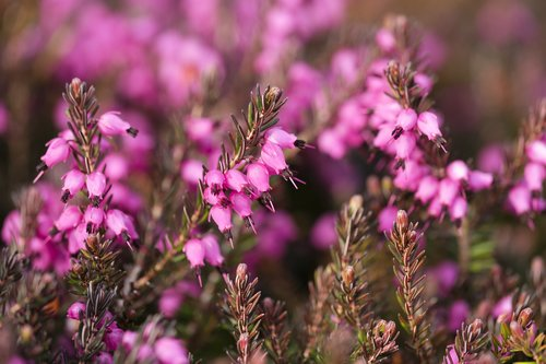 heather  heather green  irish heath