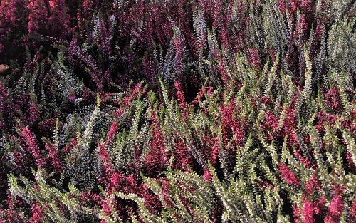 heathers  autumn  colorful